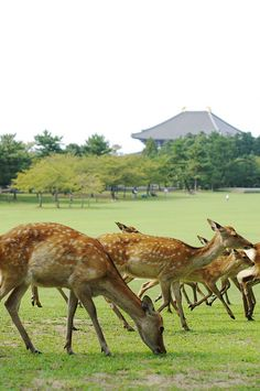 Nara Park, Japan... We were in Nara, deer all over mingling with people!