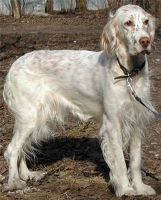 Breeze blowing from the left. English Setter fur is so silky soft and they have no dog odor at all. No dog breath either. Honest. I've had 5 of them over the years. So loving and happy, too.