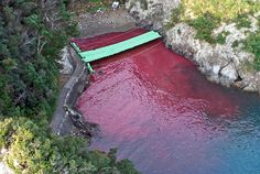 Blood stains the sea at the Cove of Taiji in Japan, after a dolphin slaughter. Photo: Oceanic Preservation Society (OPS) A good post about dolphins in captivity. (Send to WdV to forward maybe?)