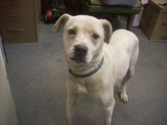 #OHIO #URGENT #GassingShelter ~ ID 2 is a 2yo Boxer mix  in need of a loving #adopter / #rescue at CARROLL COUNTY DOG POUND 2185 Kensington Rd NE Route 9  #Carrollton OH 44615 Ph 330-627-4244