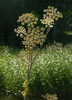 angelica foliag e White Angelica, Hedges, Beautiful Gardens, Wild Flowers, Fields, Woodland, Natural Beauty, Grass, How To Look Better