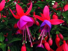 Long-Blooming Flowers for Hummingbirds: These long-blooming flowers will keep hummingbirds fed for months! Beautiful Flowers Garden, Love Flowers, Beautiful Gardens, Hummingbird Flowers, Hummingbird Garden, Blooming Plants, Blooming Flowers, Flowers That Attract Hummingbirds, Fuchsia Plant