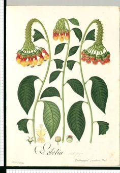 Lobelia - Dibujos de la Real Ecpedición Botánica del Nuevo Reino de Granada ( 1783-1816 ) dirigida por José Celestino Mutis (Real Jardín Botánico CSIC)