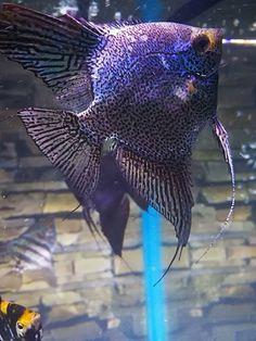 Angel Tropical Fish Aquarium, Freshwater Aquarium Fish, Planted Aquarium, Beautiful Fish, Animals Beautiful, Angel Fish Tank, Cool Fish Tanks, Fish Artwork, Outdoor Ponds