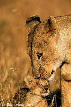 Lioness nuzzling cub, Masai Mara, Kenya – Travel and Tourism Trends 2019 Beautiful Cats, Animals Beautiful, Cute Baby Animals, Animals And Pets, Wild Animals, Big Cats, Cute Cats, Lioness And Cubs, Lioness And Cub Tattoo
