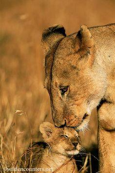 Lioness nuzzling cub, Masai Mara, Kenya