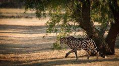King Cheetah Photo by Stela Prodanovic — National Geographic Your Shot