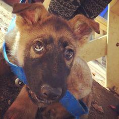 I love my Kaizer!! #dogselfie #puppylove #germanshepherd