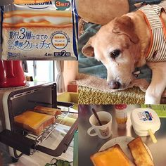#labradorretriever #ラブラドール #kinta #愛犬 #lovedogs #老犬 #seniordog #goodmorning 😊🐶 #食欲ヤバイ #食べ過ぎ注意 😅 #犬との暮らし 💛  最近のキンタと私の食欲がどうにも止まりません😅  食べても食べても満たされなくていっぱい食べちゃってます😅😅 この前買ったトースターが最近大活躍😆❤️ レパートリー増えてますますヤバイ...💦 今朝はチーズトーストのハチミツがけ🍯  このチーズもCMで見てずっと気になってた😋  キンタは朝ゴハン食べた後だから半分だけのチーズ抜き! お腹壊しそうだから...☺️💦 キンタの食欲旺盛なのはとても嬉しいです😆✨ でも最近💩を1日に3回もする時も... 下痢でもなく健康的な感じのモノだけど し過ぎて逆に大丈夫かなぁと心配です😓  した後は私がめちゃ褒めるので 決まってドヤ顔😁  何だか褒められる為にムリムリ出してる様な気さえします☺️💦 だって親指ほどの小さな💩の時もあるし😂  朝から失礼しました☺️🐶💦💦✨✨