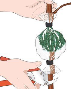 9. Quando saranno spuntate le nuove radici, tagliare il fusto alla base del manicotto con le cesoie e rimuovere la plastica.
