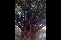 Linda e bem antiga árvore localizada na Avenida Brasil e São Paulo.  Seria bom se tivessemos mais árvores como esta aqui.
