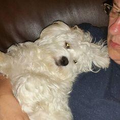 Midnight cuddles with Mummy  Good night dear friends   #westiemalteselove #maltese #maltesepuppy #puppylove #jennythemaltese #instashot #instadirect #naughtypuppy #playfulpuppy #perfectpuppy #malteselover #ilovemymaltese #ilovemydogs #instacuteness #cutemaltese #perfectdogs #maltesegram #maltesegirl #cutepuppy #whitedogs #maltesegram #malteseoffical #malteseworld_feature #maltese101 #lacyandpaws #puppiesofinstagram #puppy #nofilter by snoopiwestie_jennymaltese