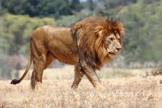 Lion, African lion, endangered lions, male lion, Masai Mara, magical place