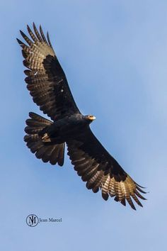 Verreaux black eagle