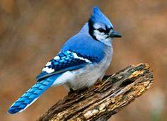 Blue Jay Bird from JCR Manuscript Review History
