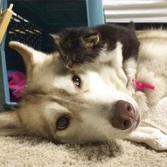 Rosie is a rescue stray found at just 3 weeks old. She was a sickly little kitten until they paired her up with Lilo, a gentle Husky who changed the little kitten's life forever.