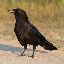 Crows living in urban areas are known to gather nuts then place in the street for passing cars to crack open the shells. Then, after waiting patiently for the cars to pass, they return to the street and eat them. They are also considered the fifth smartest animals on the planet.