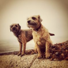 On the look out boarder terriers www.thehappydogcompany.co.uk