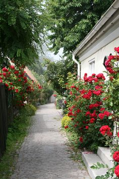 Vackra rosor i gränderna i Visby, Sweden. Lovely roses in Visby streets. Beautiful Islands, Beautiful Places, Sweden Travel, Red Cottage, Exterior, Landscape Architecture, Beautiful Gardens, Red Roses, Outdoor Gardens