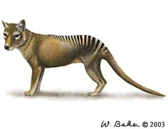 Thylacinus cynocephalus | Thylacinus cynocephalus (Tasmanian wolf) thought to have gone extinct in the 20th Century