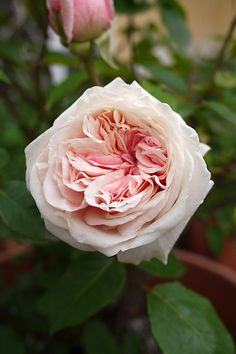 "Tea Rose: Rosa ""Arcadia Louisiana Tea"" (found rose- discovered in the U.S.)"