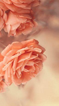Анимация Две персиковые розы, гифка Две персиковые розы