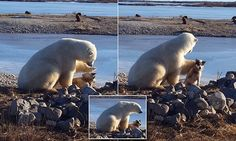 This is the adorable - and extraordinary - moment a wild polar bear  pets a chained-up sled dog in the Canadian wilds.