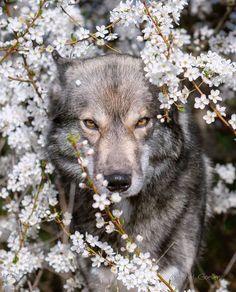 Hera(female) Wolf Love, Bad Wolf, Beautiful Creatures, Animals Beautiful, Wild S. Beautiful Creatures, Animals Beautiful, Wolf Photos, Wolf Pictures, Wolf Love, Bad Wolf, Cute Baby Animals, Animals And Pets, Wild Animals