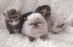 Himalayan & Persian Kittens