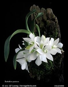 A species orchid (color)Maccraithea prasina. A species orchid (color) Exotic Plants, Exotic Flowers, Tropical Flowers, Amazing Flowers, White Flowers, Beautiful Flowers, Orquideas Cymbidium, Orchid Color, Growing Orchids