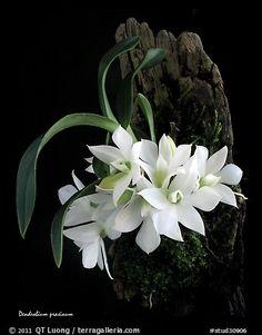 Maccraithea prasina. A species orchid (color)