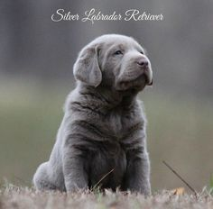 Silver Labrador Retr Labrador Honden Honden Schattige Dieren