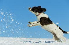 Springer spaniel puppy playing in snow.