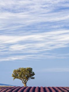 Lavender Field, Plateau De Valensole, Provence, France, Europe Fotografie-Druck