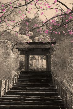 Pink Plum Blossoms in Kamakura by aeschylus18917, via Flickr