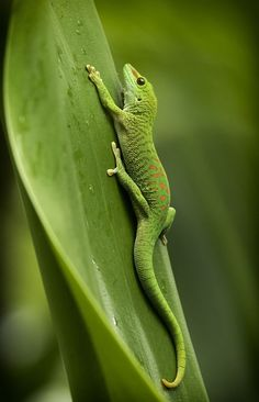 Phelsuma madagascariensis / Madagascar giant day gecko by Beat Christen on Les Reptiles, Cute Reptiles, Reptiles And Amphibians, Funny Lizards, Nature Animals, Animals And Pets, Cute Animals, Green Animals, Geckos