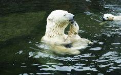 Обои животные ребенка, полярные медведи, животные, water, polar bears, baby animals, animals, вода на рабочий стол 66608