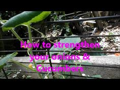 How to strengthen your onions & Cucumbers