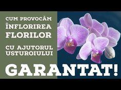 ✔️ Cum provocăm înflorirea orhideei cu ajutorul Usturoiului? GARANTAT 🔴 - YouTube Begonia, Tudor, Bonsai, Youtube, Video Clip, Plant, Youtubers, Youtube Movies, String Garden