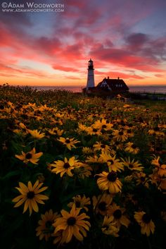 Photograph Black Eyed Susans at Portland Head Light by Adam Woodworth on 500px