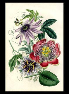stamboom passiflora - Google zoeken