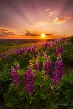 purple flowers, purple sky, and in the middle hangs a great golden globe of rays