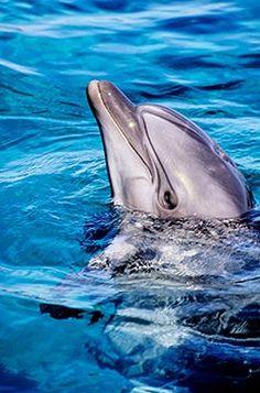 Dolphin at Ras Mohamed national submarine park. Sinai peninsula, Egypt