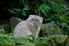Have you ever wanted to take a trip through time to see what animals looked like millions of years ago? When it comes to cats there is little or no need. This beautiful specimen is a Manul, otherwise known as Pallas's Cat.