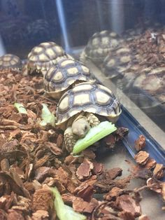 Hungry baby tortoise! http://ift.tt/2lxDDEO