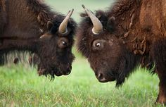Two young bison square off, Yellowstone National Park, Wyo. (© Andrew Kandel/Alamy). I love Yellowstone and seeing this would make my year.