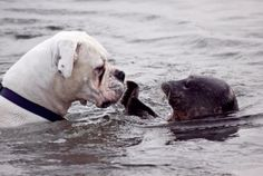 boxer meets baby seal :)
