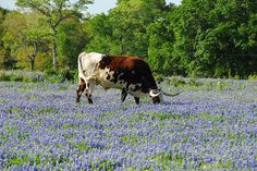 Texas Longhorn and Texas Bluebonnet