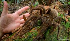 The Goliath bird-eating Tarantula, second in size (according to leg span) only to the Giant Huntsman spider. The Goliath may be the largest in terms of mass. This massive spider can reach leg spans of 11 inches. Large Spiders, Scary Spiders, Giant Spider, Spider Legs, Small Puppies, Wtf Fun Facts, Mammals, Creatures, Skinny