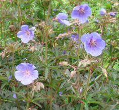 G. pratense Victor Reiter Geranium Pratense, Plant Nursery, Geraniums, Perennials, Garden, Artist, Plants, Beautiful, Vivarium